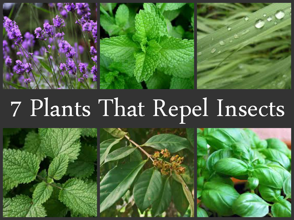Originally posted on natural living ideas - Mosquito repellent plants ...