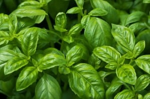 Sweet Basil Is One Of The Most Popular Kitchen Herbs Around The World.  Known For Itu0027s Anise Like Flavor And Intense Clove Like Aroma, Dried Or  Fresh, ...