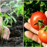 11 Pro Secrets for Growing the World's Sweetest, Tastiest Tomatoes