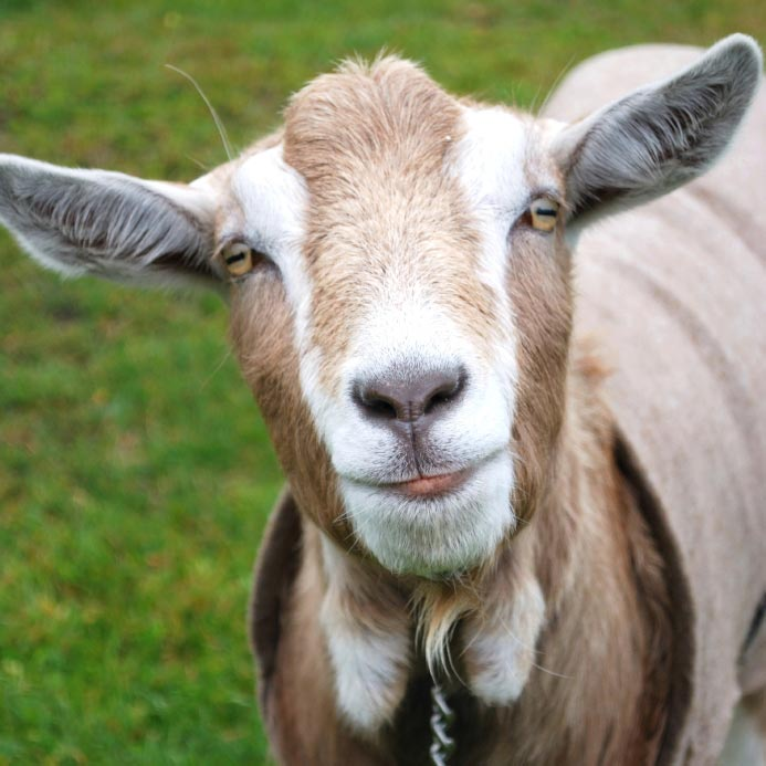 20 Reasons Why Keeping Goats Will Change Your Life For The Better