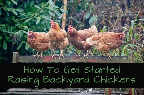 how to get started raising backyard chickens