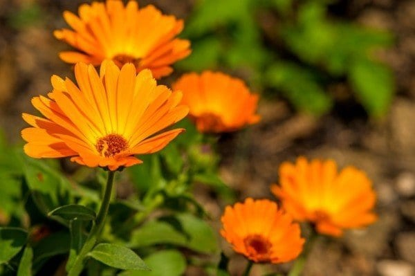 12 Healing Herbs You Need to Grow in Your Medicinal Garden Pot-marigold-600x399