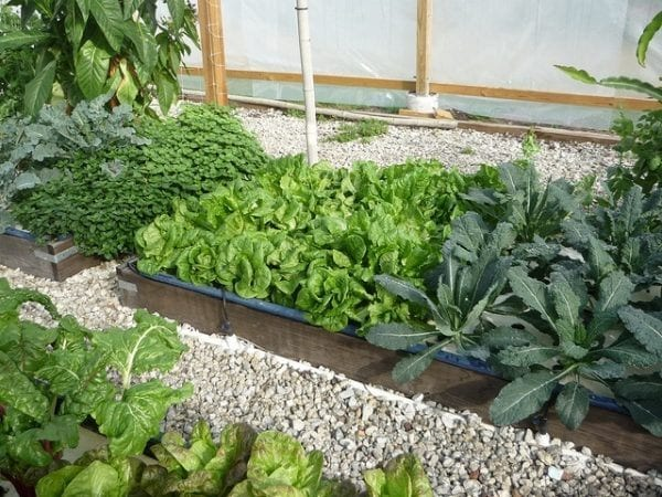 Aquaponics how you can grow 10 times the food in half the for Growing plants with fish
