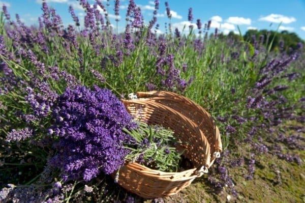 The total guide to growing harvesting using lavender - Growing lavender pot ...