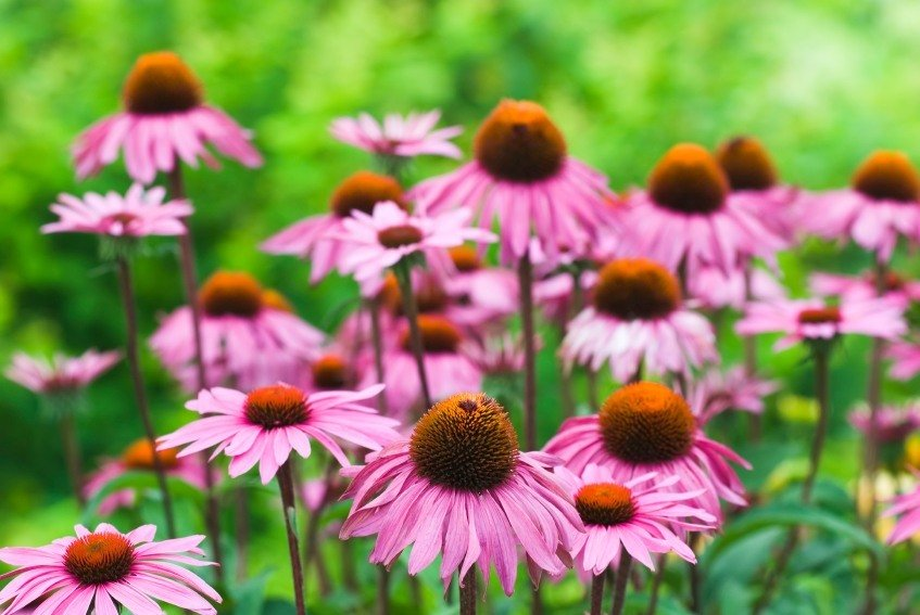 Purple coneflower tea