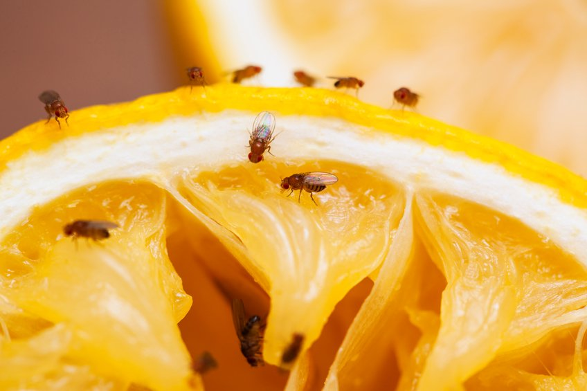 How do you get rid of fruit flies in the kitchen?