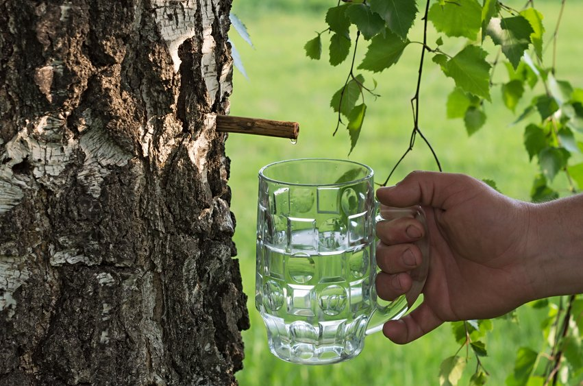 7 Reasons You Should Drink Birch Water + How to Make It Yourself