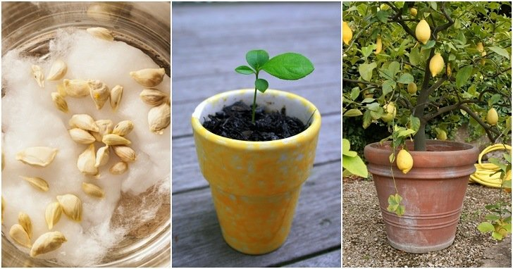 Image result for How To Grow A Lemon Tree From Seed No Matter Where You Live