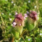 4 Reasons To Go & Find Purple Dead-Nettle