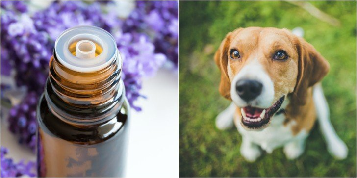 Top 7 Essential Oils For Dogs & How to Use Them