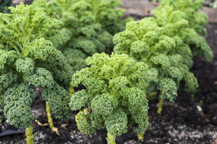 How To Grow An Abundant Supply Of Kale