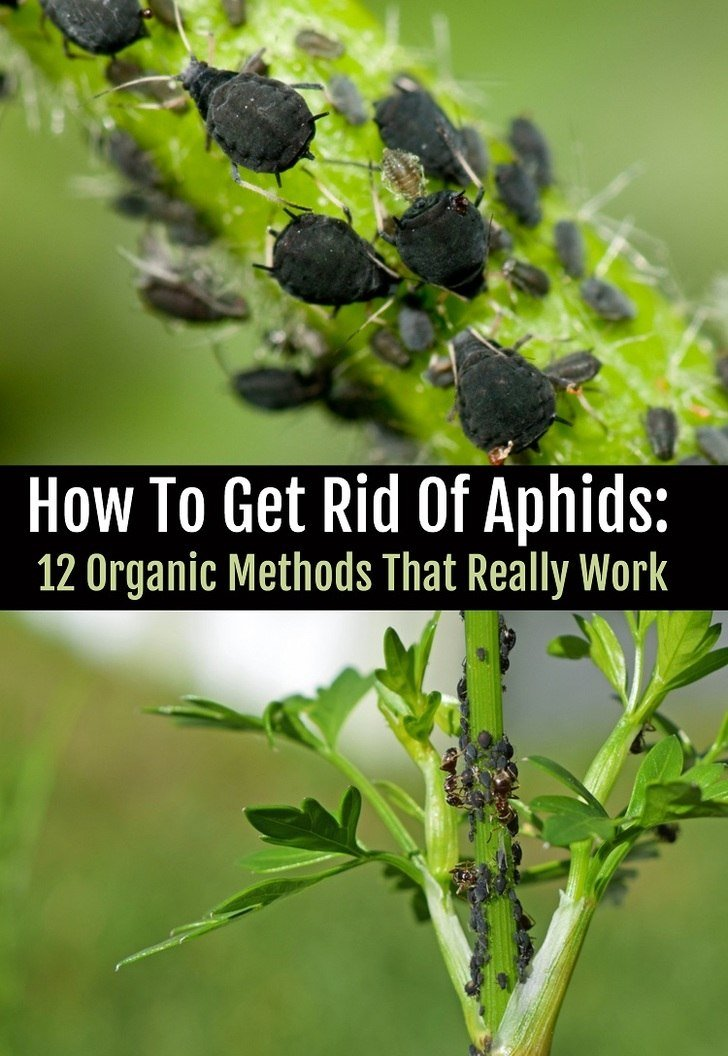 Aphids destroying your plants? Here's how to get rid of them for good without using chemical insecticides.