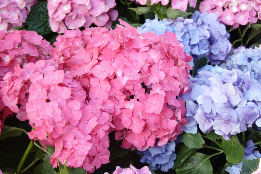 Try Changing The Flower Color Of Hydrangeas With Coffee Grounds