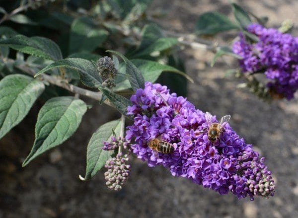 20 beautiful flowers to attract bees to your garden butterfly bush buddleja davidii two honeybees collecting nectar from purple buddleia flowers mightylinksfo