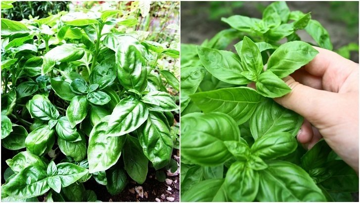 20 Clever Ways To Use Basil Leaves That Goes Way Beyond Pesto