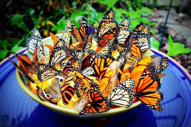 butterfly-feeder