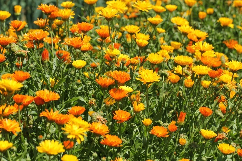 14 Convincing Reasons Every Gardener Should Grow Calendula