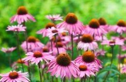 10 Reasons Echinacea Should Grow In Every Garden