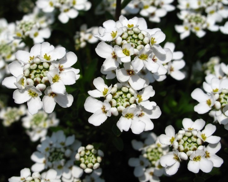 21 plants that bloom all summer long candytuft mightylinksfo