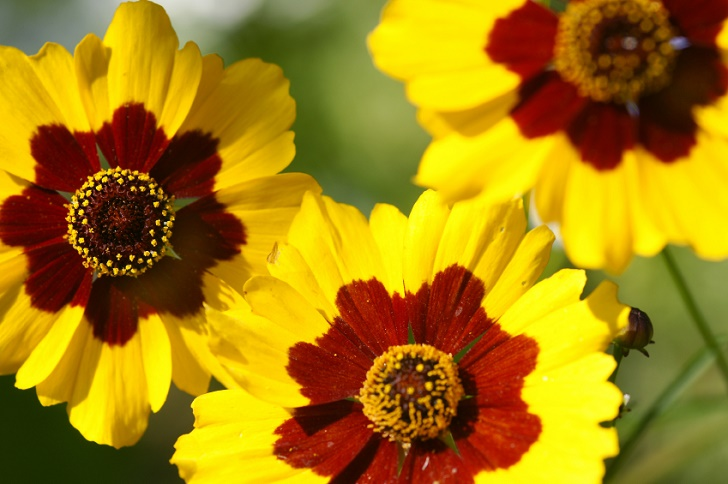21 plants that bloom all summer long it is actually a perennial in warmer regions but is more often grown as an annual elsewhere the yellow and gold flowers mightylinksfo