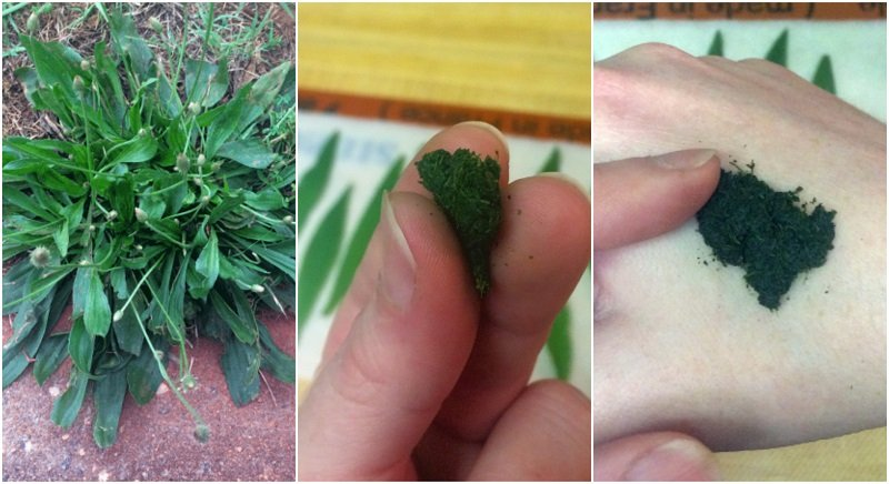 How To Make A Plantain Poultice - Heal Mosquito Bites, Poison Ivy Rash, Wounds, Eczema & More