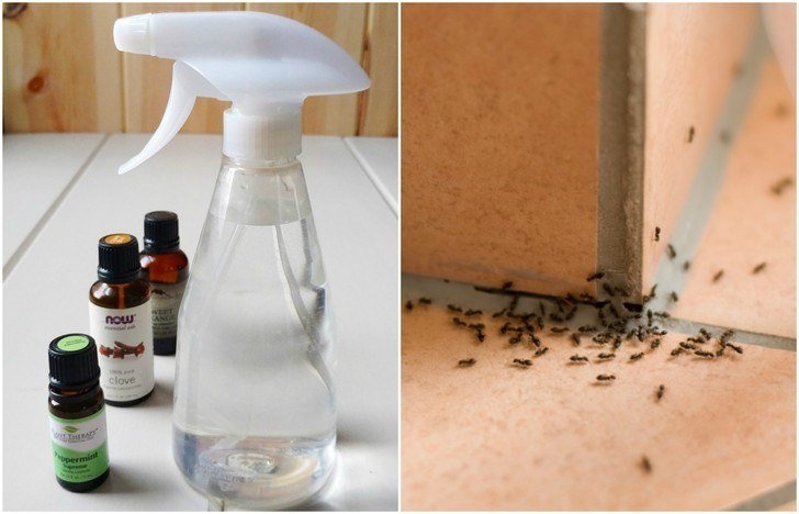 Homemade Ant Repellent Spray To Get Rid of Ants for Good
