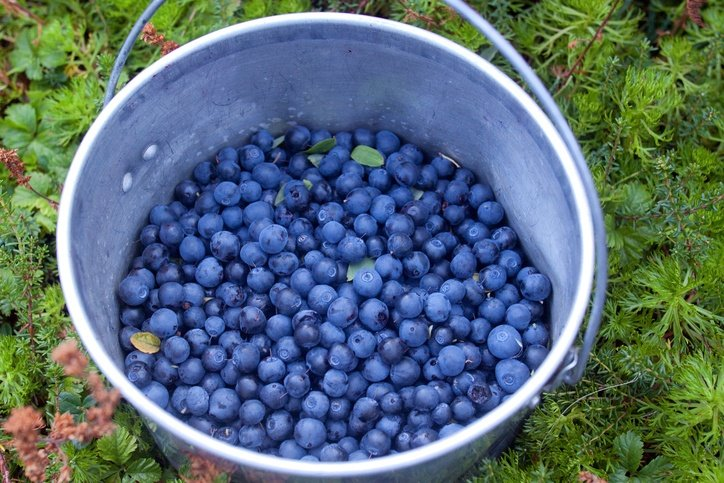 How To Grow Buckets Full Of Blueberries No Matter Where You Live