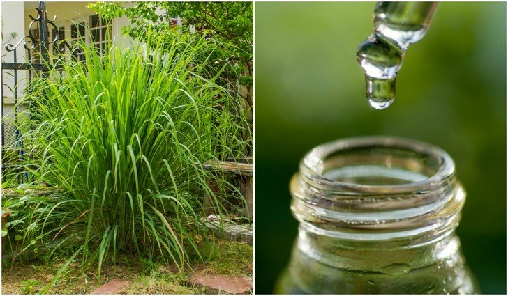 8 Reasons Citronella Essential Oil Should Be In Every Home