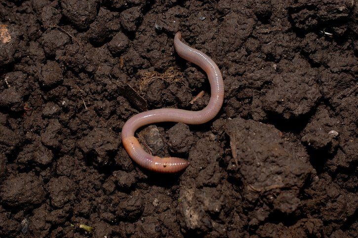3 Reasons You Need Earthworms In Your Garden & How To Attract Them
