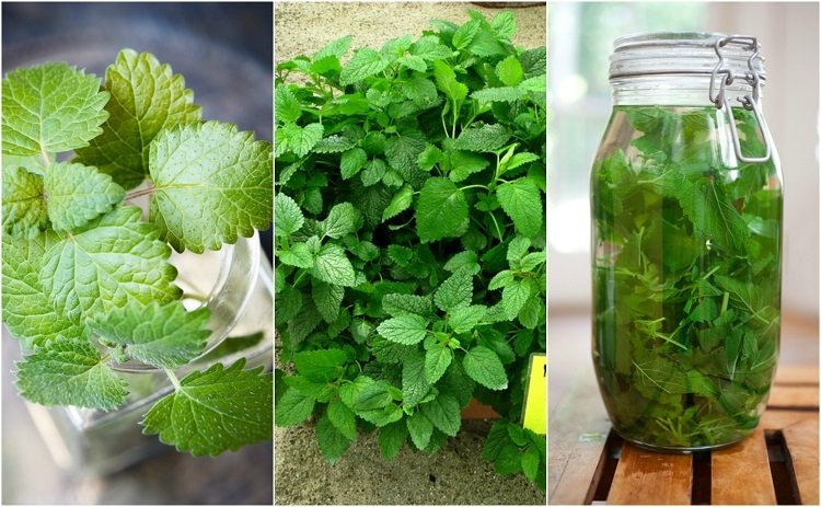 12 Reasons Everyone Should Start Growing Lemon Balm