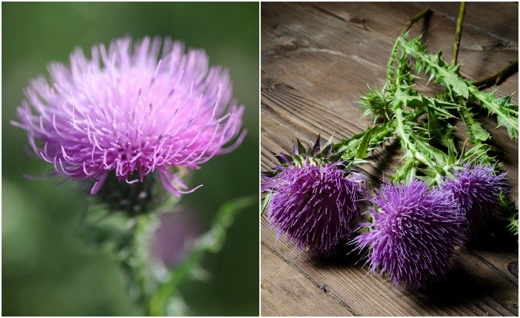 7 Remarkable Benefits of Milk Thistle - How To Grow, Harvest & Use It
