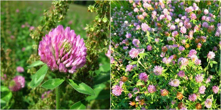 9 Reasons You Should Start Growing (Or Foraging For) Red Clover