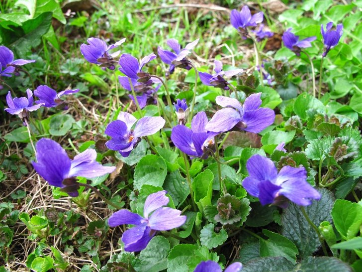 7 Lovely Ways To Use Wild Violets