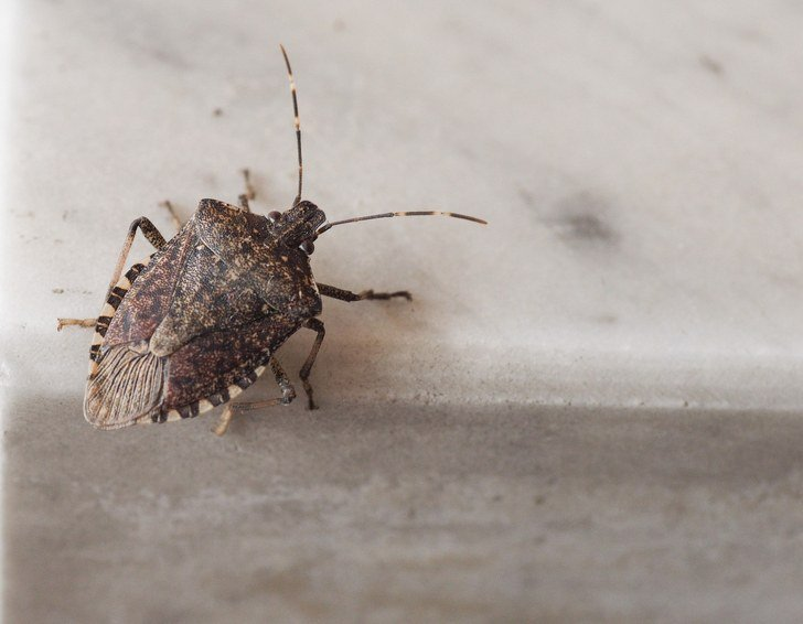 12 Best Natural Ways To Get Rid Of Stink Bugs
