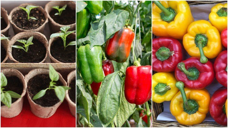 How To Grow Buckets Full Of Bell Peppers