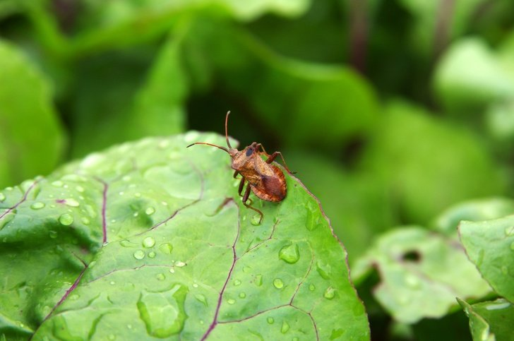 8 Ways To Get Rid Of Squash Bugs How Prevent Them