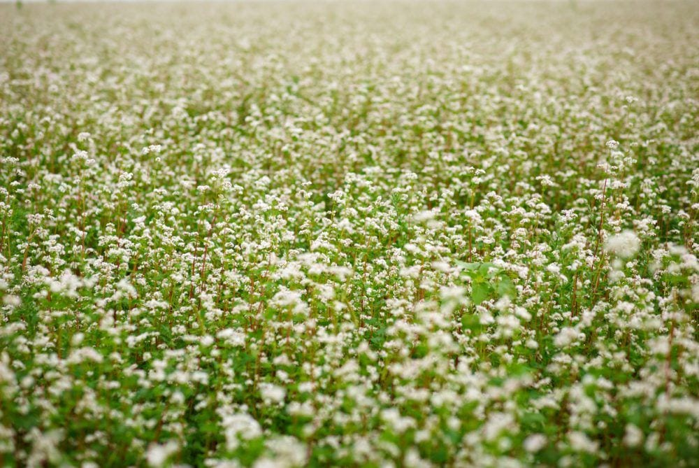 11 Best Cover Crops For Every Season