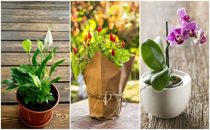 11 Health Promoting Houseplants That Make Great Holiday Gifts