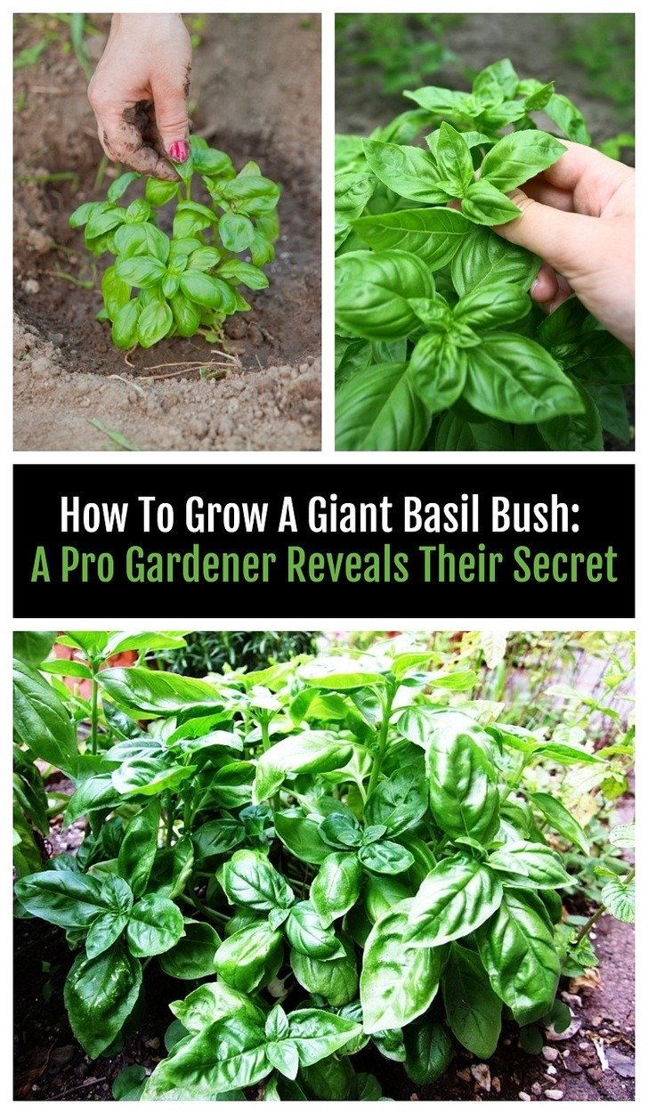 There's a clever little trick to growing an abundant supply of basil. Here's how to do it and twenty brilliant ways to use all the leaves that goes way beyond pesto!