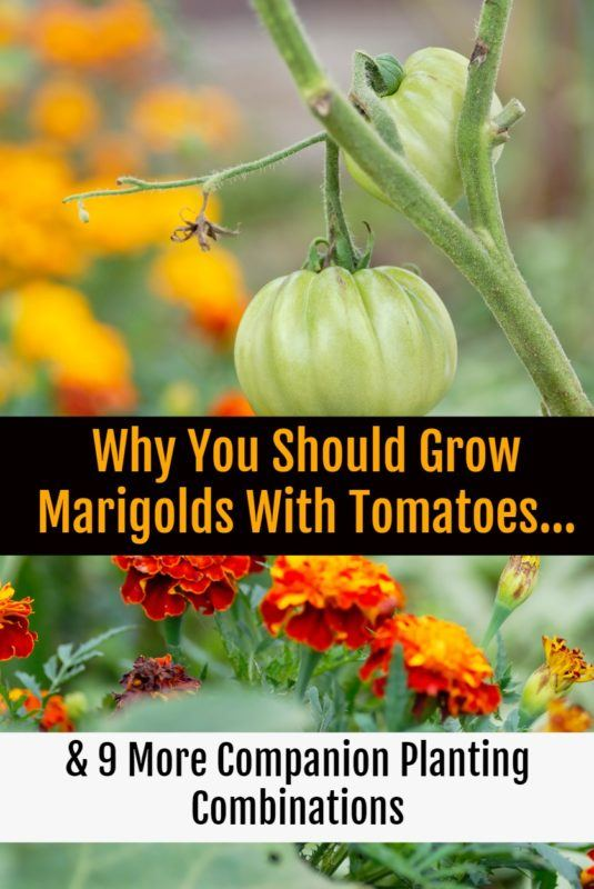 Why You Should Grow Marigolds With Tomatoes... & 9 More Companion Planting Combinations