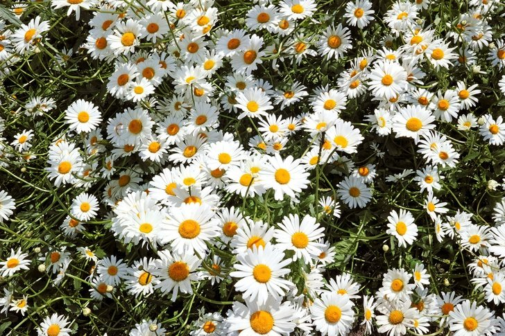 5 Brilliant Ways To Use Wild Daisies