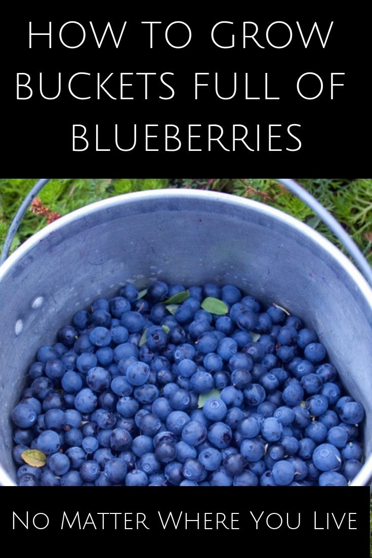 It doesn't matter where you live - you can grow an abundance of delicious, antioxidant packed blueberries no matter where you live. Here's how...