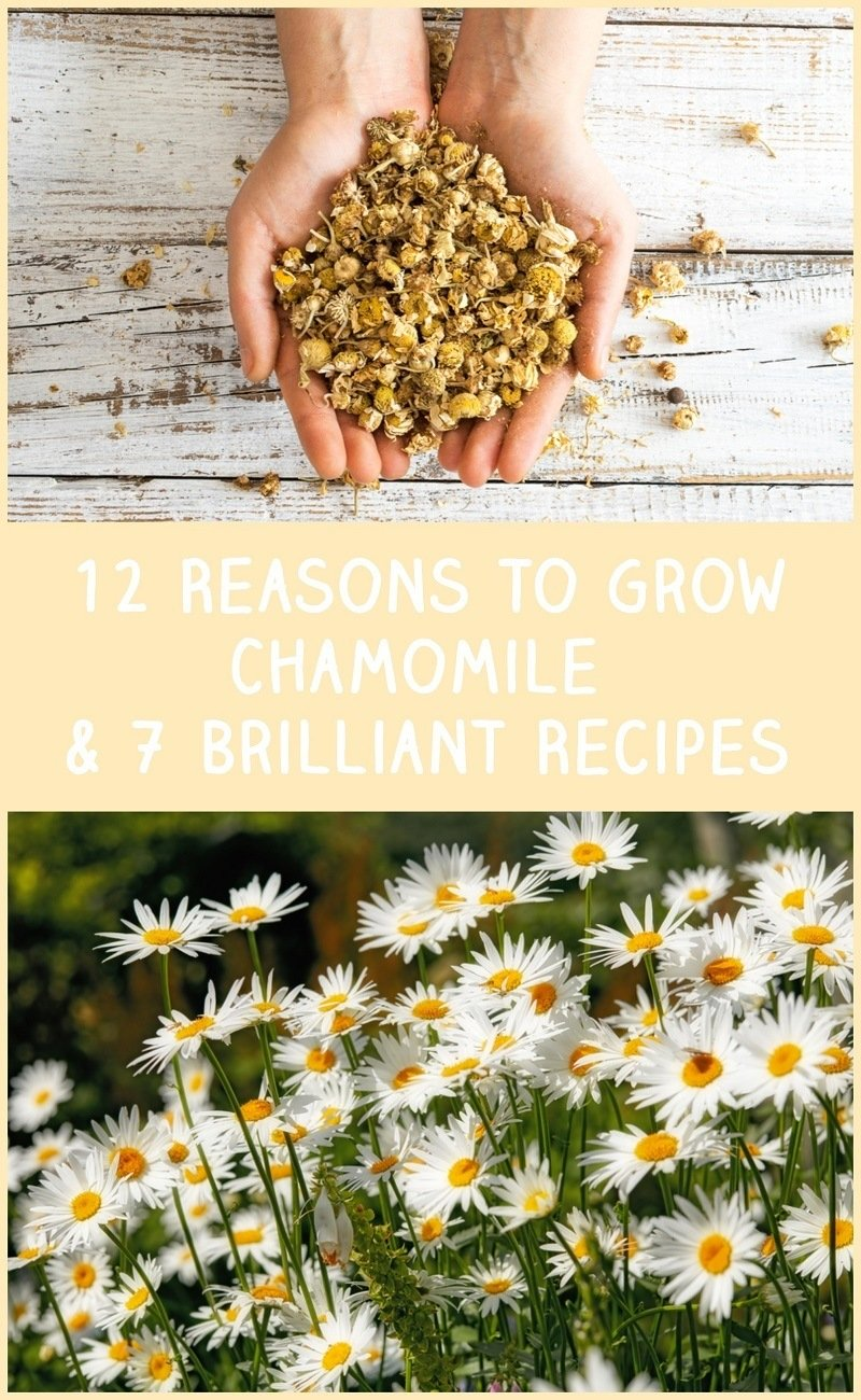 12 Reasons To Grow Chamomile & 7 Brilliant Recipes