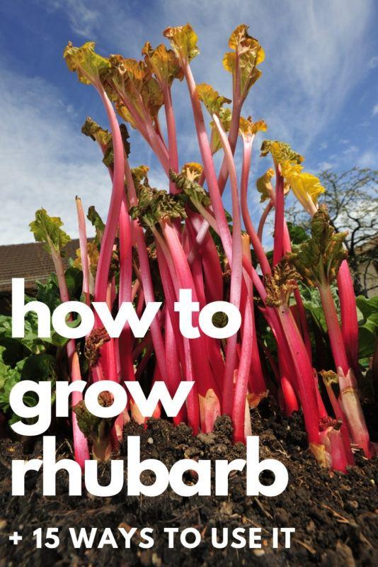 How To Grow Rhubarb + 15 Ways To Use It