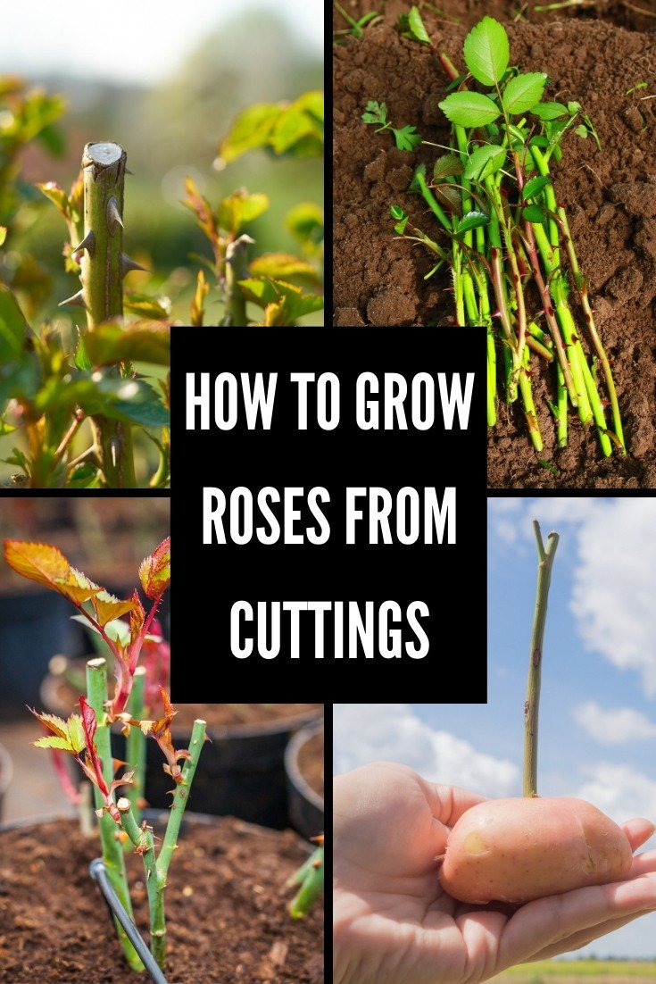 Do you have a desire to fill your garden with sweet smelling roses? Growing them from cuttings is the best way to go and here's all you need to know.