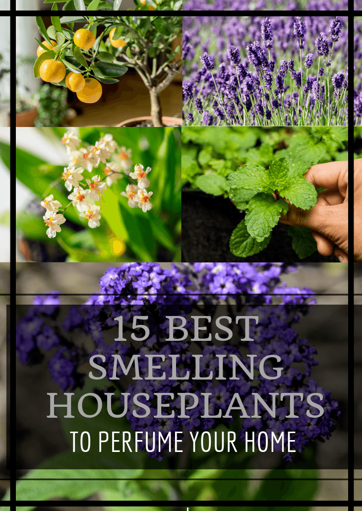 Houseplants add beauty to any room, many can even purify the air. These plants do all of that while also perfuming the room with their alluring aroma.