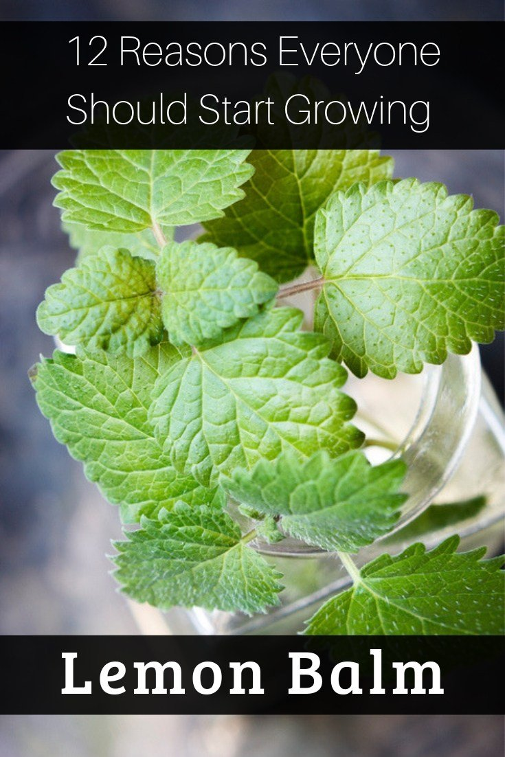 The list of reasons to love lemon balm is practically endless and you'll be happy to learn that growing and harvesting it is easy. Here's all you need to know.