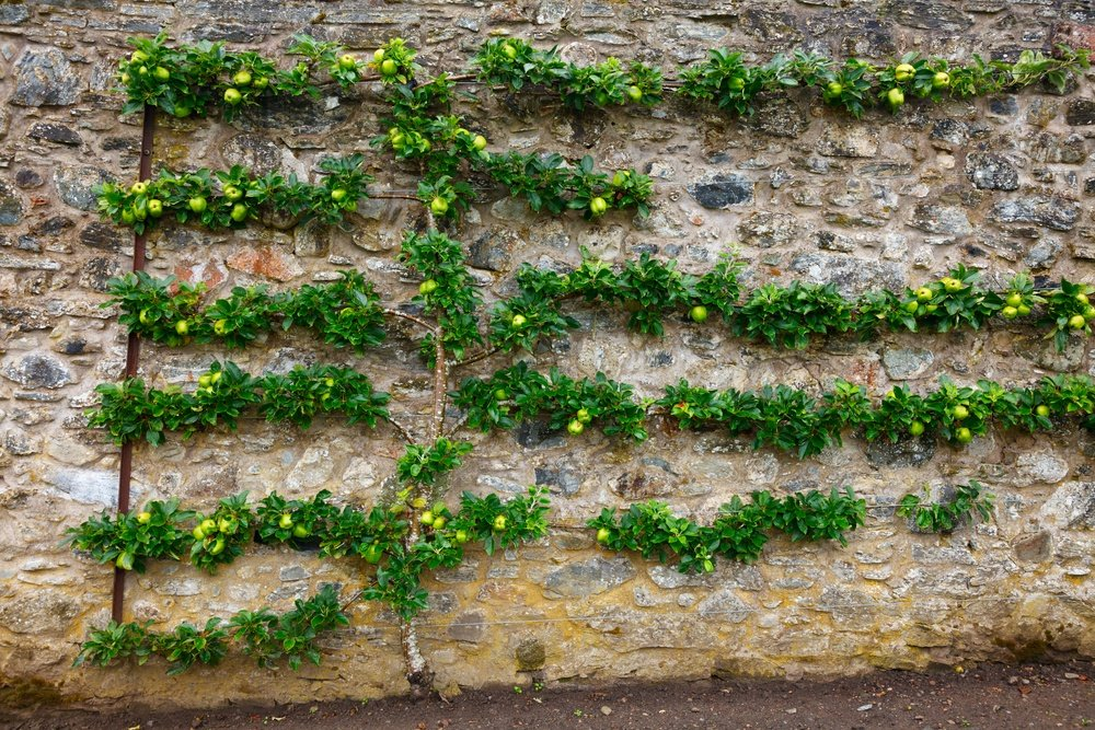 Horizontal espalier fruit tree trained on stone wall