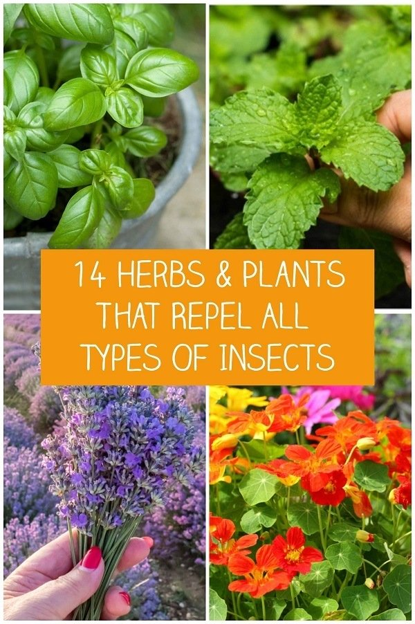 Garden Bush: 14 Herbs & Plants That Repel All Types Of Insects