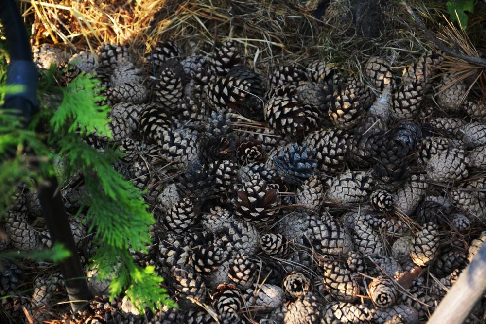 5 Surprising Ways To Use Pine Cones In The Garden